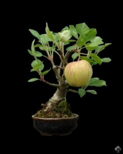 07-apple-bonsai